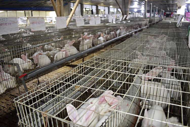 Mô hình trang trại nuôi thỏ khép kín