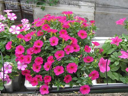 Tháng 6 trồng hoa Dạ Yến Thảo