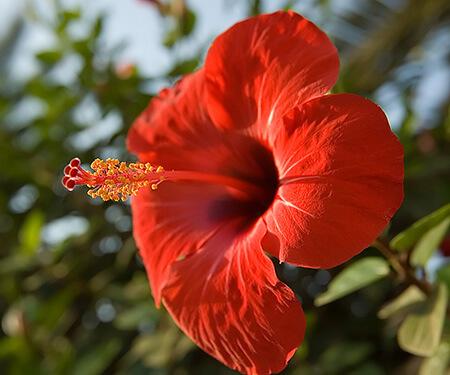 Tháng 6 trồng hoa Dâm Bụt