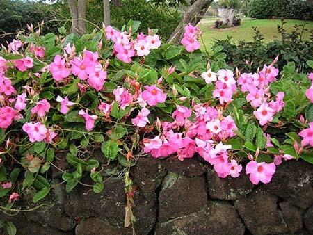 Tháng 6 trồng hoa Hồng Anh